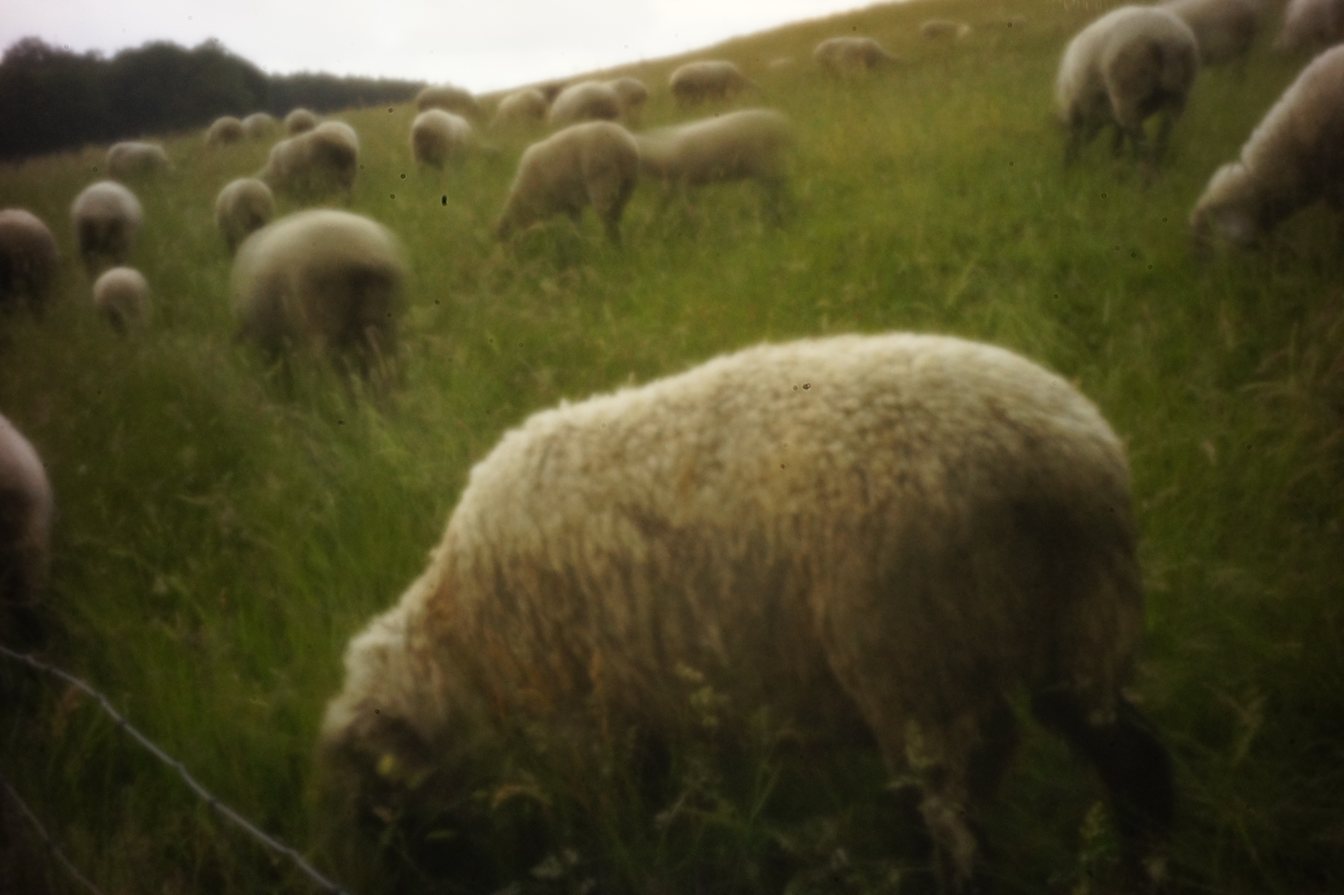 Allguschafe vor der Lochkamera &#8211; pinhole sheeps and the pinhole camera