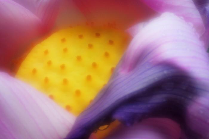 Pinhole Lotus